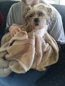 Dog Washing rub down with towel