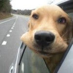 Dog head out of window