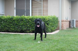 A labrador named Leo - The Online Dog Blog mascot