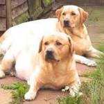 Overweight tubby Labrador Dogs
